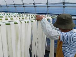 かんぴょうの乾燥作業